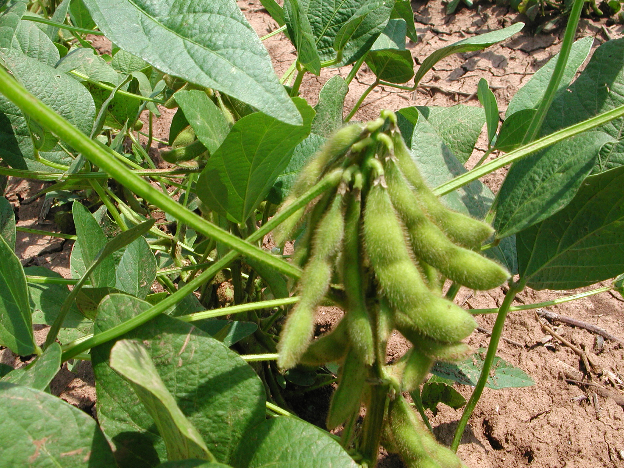 soybean_pods